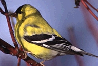 Photo: American Goldfinch.