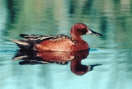 Photo:Cinnamon Teal